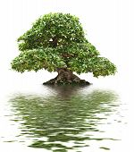 image of centenarian  - beautiful Ficus bonsai over white with water reflection - JPG