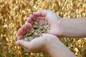 stock photo of crips  - Hands of future farmers holding a new crop - JPG