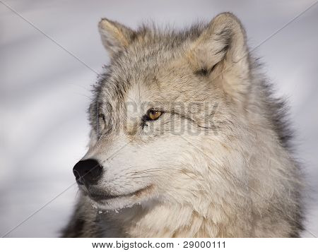 Alpha Male Arctic Wolf