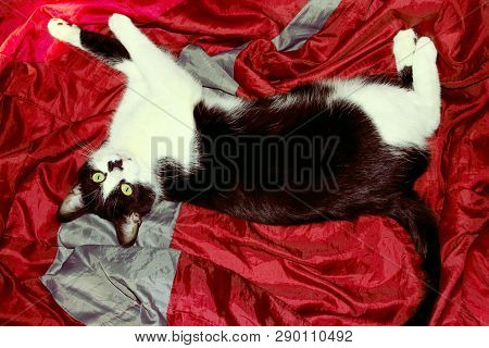 poster of Tuxedo Cat Over Red Background. Cat Take A Rest In The Bed. Animals, Pets Concept. Cropped Shot Of A