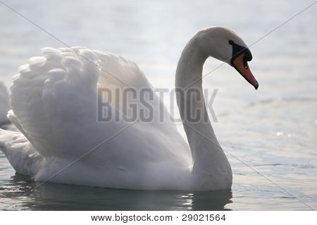 Elegant white swan in a pond (profile)