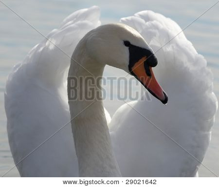 Elegant white swan posing in a pond