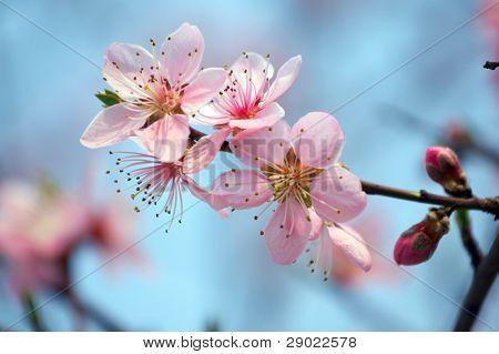 Peach blossom against blue sky