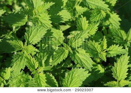 Stinging nettles background