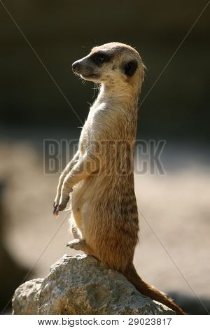 Meerkat standing on the rock and looking ahead