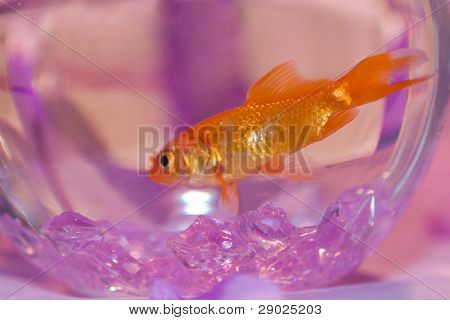 Gold fish in purple decorated tank