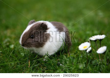 Young guinea pig on the lawn