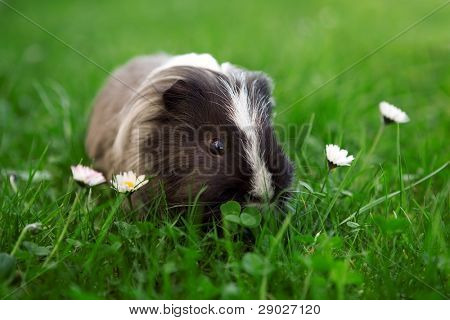 Young guinea pig in the grass