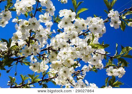 Apple-tree flowering