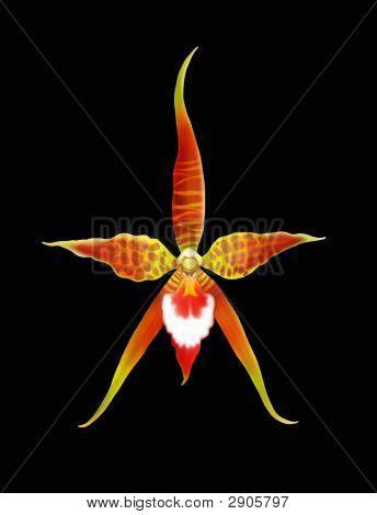 Rhynchostele Orchid Flower