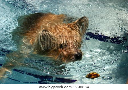 Swimming Cairn Terrier
