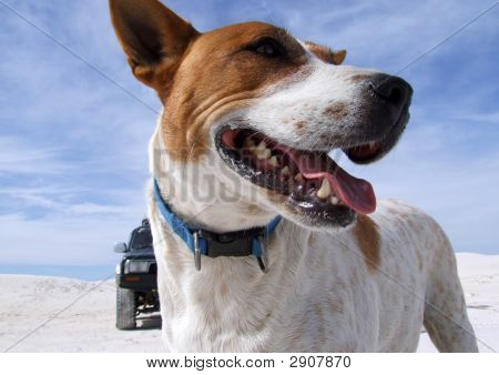 Australian Cattle Dog On Beach With Four Wheel Drive