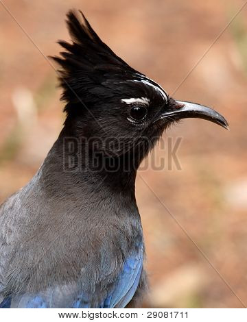 Steller's Jay With Curved Beak