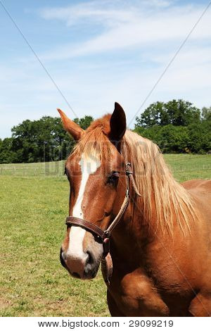 Chestnut Horse Head Portrait