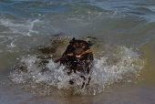 A Chocolate Labrador Who Has Run Into The Surf To Retrieve A Stick Whilst Playing At The Beach poster