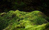 Beautiful Green Moss On The Floor, Moss Closeup, Macro. Beautiful Background Of Moss For Wallpaper poster