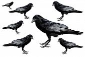 Crow. Crows isolated on white. Seven crows of different sizes isolated on white.  poster