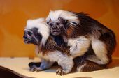 Oedipus Tamarin - Small Monkeys Of The Marmoset Family. Unusual Cute Animals. poster