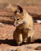 Kit Fox Puppy Looking Down