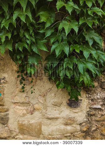 Old stone wall with plant growing over it