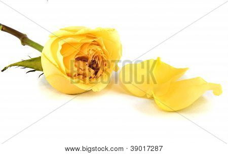 Yellow Rose And Petals