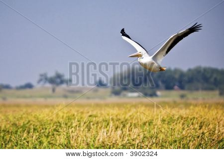 Pelican Over Marsh