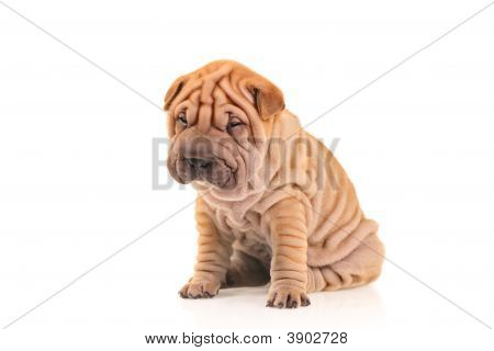 Sad Little Sharpei Puppy