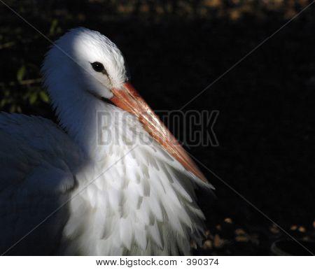 White Stork Portrait