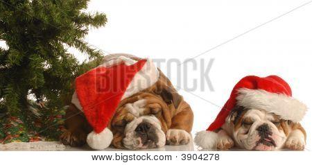 Two Bulldog Under Christmas Tree
