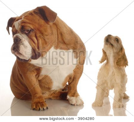 Inglés Bulldog Spaniel Yapping ignorar