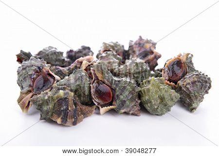 isolated whelk