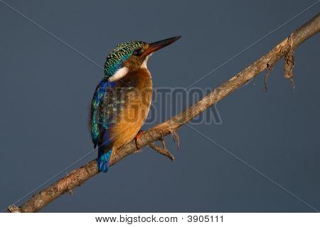 Malachite Kingfisher On Twig