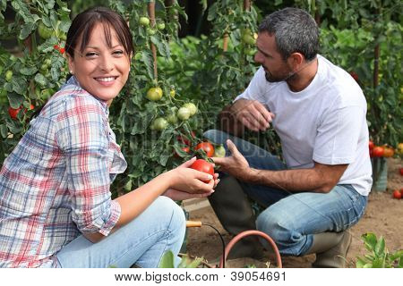 Couple picking tomatoes in garden