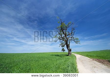 Solitary Old Oak Tree Growing Along The Road Among Fields In Late Spring