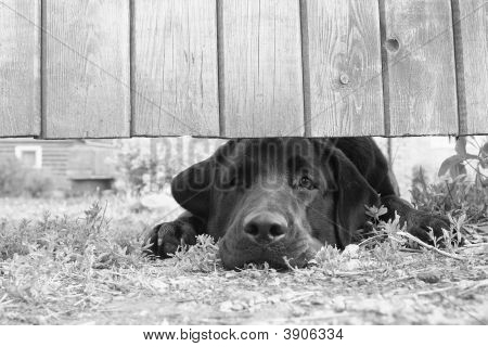 Sad Dog Under The Fence