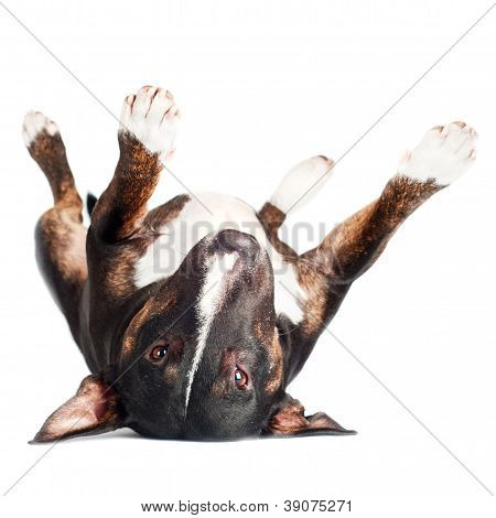 black bull terrier dog lying upside down