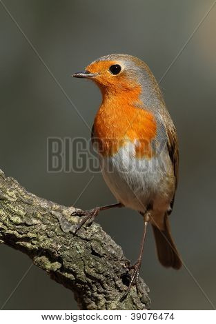 Erithacus Rubecula Robin Perched On A Branch