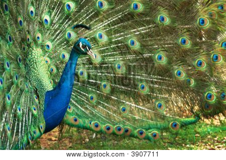 Beautiful Female Peacock In Full Bloom, Blue Green Colour