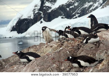 Nesting Penguins, Gentoo Penguin Rookery