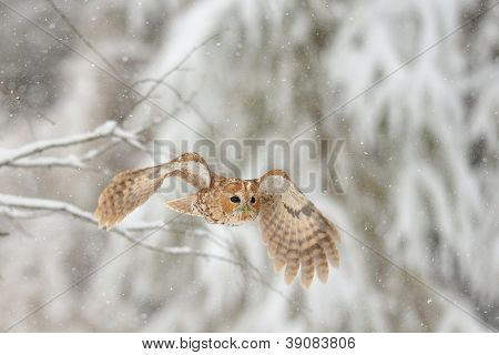 Flying Tawny Owl