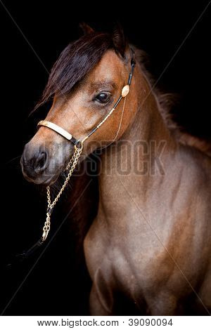 Bay horse head isolated on black background