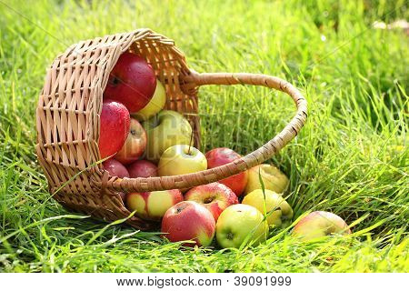 basket of fresh ripe apples in garden on green grass