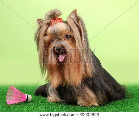 Wunderschöne Yorkshire-Terrier mit lightweight-Objekt im Badminton auf Gras auf bunten backgroun