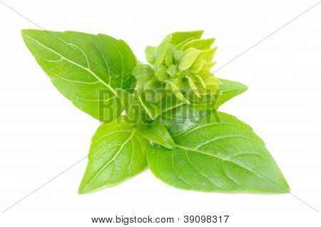 Green Basil With Flower Buds Isolated On White Background