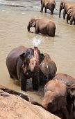 Elephants take a shower in the Maha Oya river, Pinnawela Elephant Orphange, Sri Lanka