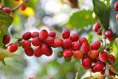 stock photo of coffee crop  - Coffee cherries - JPG