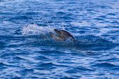 foto of grampus  - Dolphin in the sea - JPG