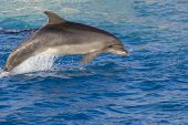 stock photo of grampus  - Dolphin in the sea - JPG
