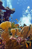 picture of fire coral  - coral reef with great fire coral and exoyic fishes anthias in red sea  - JPG