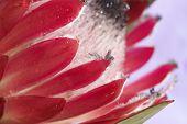 image of fynbos  - Macro shot of pink Protea  - JPG